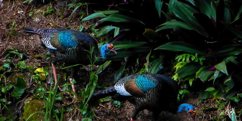 Wild Turkeys in Tikal Jungle